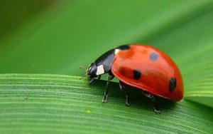 Suelta de insectos para el control de plagas