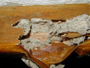 Carcoma en la madera - Plagas Valencia