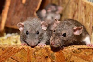 Control de roedores - Desratización Valencia