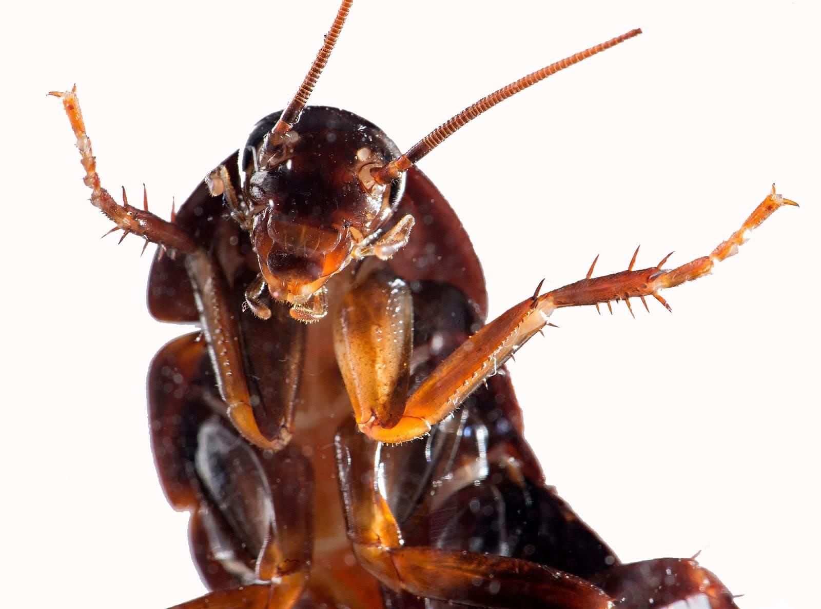 Cucarachas - empresa de control de plagas