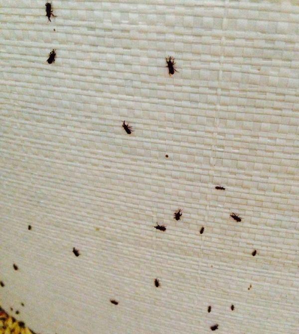 Insectos de los productos almacenados (IPAs) - Control de plagas