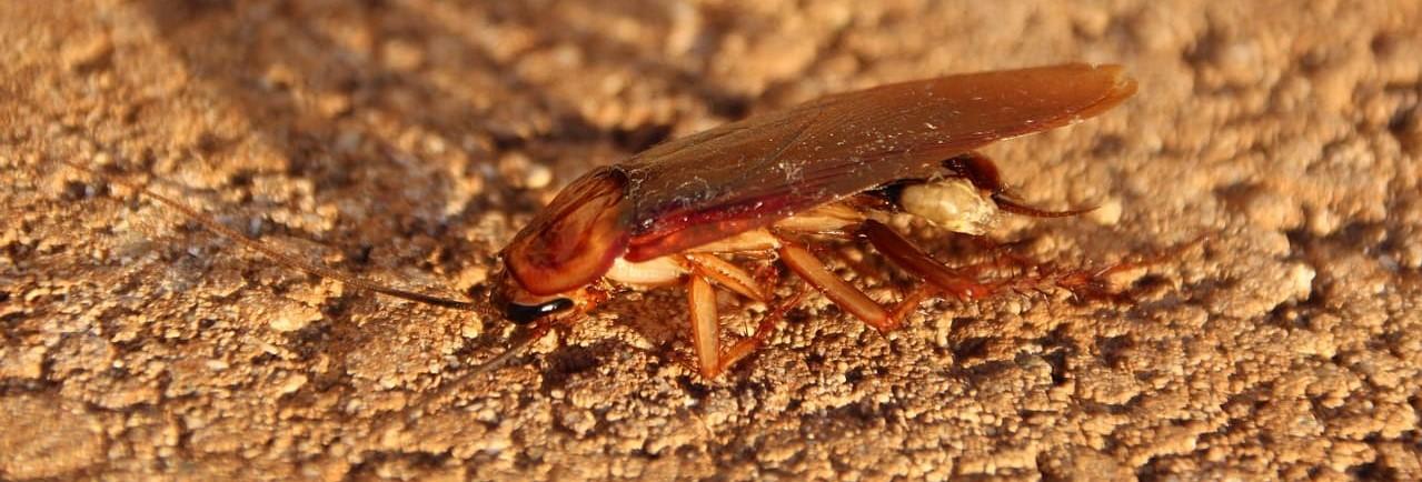 Tipos de cucarachas y características - Control de plagas Valencia