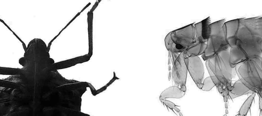 Diferencias entre chinches y pulgas