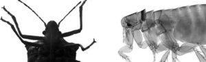 Diferencias entre chinches y pulgas - Control plagas Valencia